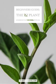 Are you curious about ZZ plant? I put together a ZZ Plant Care Guide. It's geared to beginners and has a brief overview of Zamioculcas Zamiifolia. Zz Plant Care, House Plant Care, Shower Plant, Marble Queen Pothos, Peat Moss, Low Maintenance Plants, Hardy Plants, Plant Nursery, Plant Needs