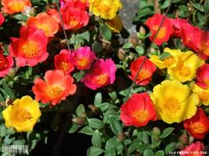 Nice selection of hybrid purslane. Great for hot dry locations.