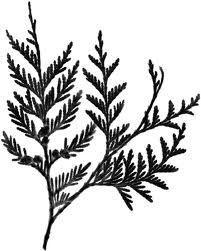 cedar branch tattoo - Google Search
