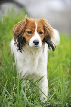 Kooikerhondje / Kooiker Hound / Small Dutch Waterfowl Dog / Dutch Decoy Dog