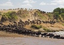 Take pictures of the Annual Wildebeest and Zebra Migration.  The Annual Wildebeest and Zebra Migration is the movement of thousands of animals across the grassy plains of East Africa in search of food and water as the seasons change and is the largest mammal migration on earth.