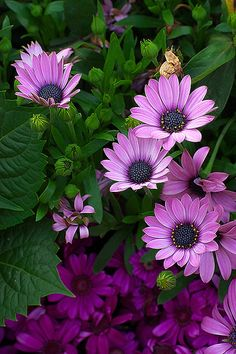 My Flower Garden Amazing Flowers, My Flower, Colorful Flowers, Purple Flowers, Beautiful Flowers, Flower Colors, Purple Daisy, Beautiful Gorgeous, Lilac