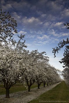 Almond trees, Central Valley, Madera, California