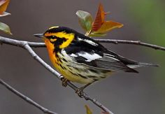 The Blackburnian Warbler (Setophaga fusca) is a small New World warbler. They breed in eastern North America, from southern Canada, westwards to the southern Canadian Prairies, the Great Lakes region and New England, to North Carolina. Pretty Birds, Love Birds, Beautiful Birds, Animals Beautiful, Small Birds, Little Birds, Colorful Birds, Different Birds, Kinds Of Birds