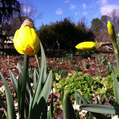#Daffodils : so close to opening! #bloomingnow at Lewis Ginter Botanical Garden