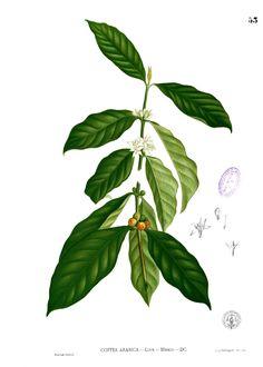 coffee plant - Buscar con Google