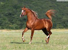 Chestnut arabian horses - photo#15