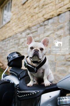 Dog Photographer Nashville, TN - French Bulldogs | Dog Photographer, Children's Photographer Nashville, TN - Adrian Hitt -