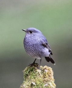 Plumbeous Water Redstart - via  Jean-Pierre Truant