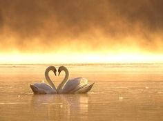swan; swans; beautiful; beauty; photography; romantic; romance; couples; lovers; beaches; beach; lake; water; heart; hearts; art