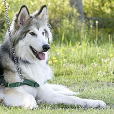 Native American Indian dog   Beautiful
