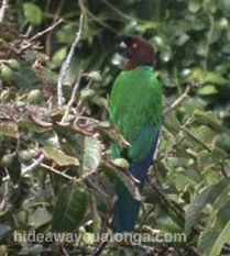 the red-breasted parrot only found in 'Eua