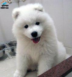 Akademi Dog güvencesi ve farkı ile kaçırılmayacak güzellikte Samoyed yavruları uygun fiyatlı olarak satılıktır.  http://www.kopekdunyasi.com/kar-beyaz-samoyed-yavrusu-satilik.html