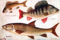 Ruffe, Perch and Barbel