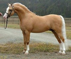 A real stunner. What a beautiful Palomino colored horse.