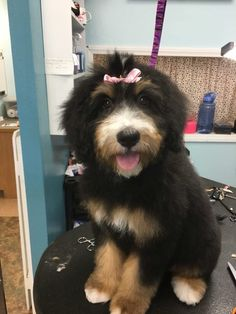 75 Best Bernedoodle Haircuts images in 2019  Dogs Doodle