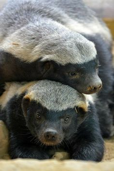 honey badgers- literally one of the most dangerous animals on the planet. Honey badger – literally one of the most dangerous animals in the world. Animals And Pets, Funny Animals, Cute Animals, Animals Planet, Animal 2, Mundo Animal, Beautiful Creatures, Animals Beautiful, Puppies
