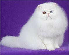 kucing angora terbaik kategori solid color 2015 versi PBC (persians breed council) . keunikan bulu putih dan warna mata duo cromatic.