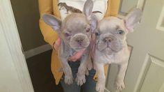 Lilac French Bulldog Puppies.