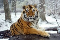 Tiger in winter