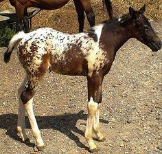 Pintaloosa foal from a Pintaloosa mare x Paint stallion