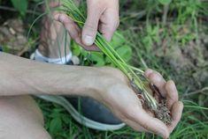 Spiselige planter i norsk natur - viivilla.no Garden, Garten, Lawn And Garden, Gardens, Gardening, Outdoor, Yard, Tuin