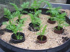 Как вырастить морковь крупную и длинную