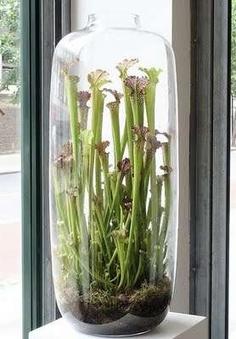 Large carnivorous Pitcher Plant terrarium