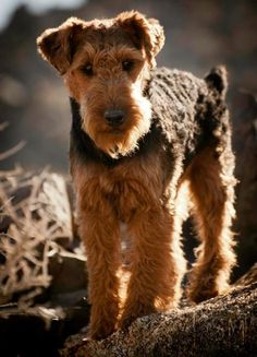 "Welsh Terrier - Zippy, compact companion, always looking for action and entertainment. This breed loves to swim and dig. The ""Welsh Terrier expression"" comes from the set, color, and position of the eyes combined with the use of the ears. http://www.akc.org/breeds/welsh_terrier/index.cfm"