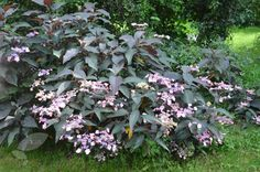 Hydrangea 'Hot Chocolate' -hardy, long flowering period, tolerates any soil, healthy. Great looking leaves.