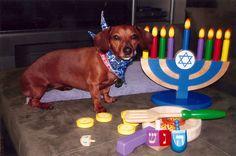 Jewish doggy celebrating Hanukkah #jewishpets