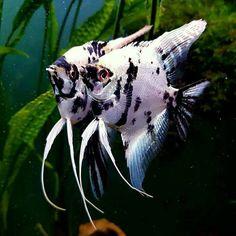 Responsible Care for Freshwater Fish Aquarium Freshwater Sharks, Tropical Freshwater Fish, Freshwater Aquarium Fish, Aquarium Fish Tank, Jellyfish Aquarium, Fish Tanks, Underwater Creatures, Ocean Creatures, Tropical Aquarium