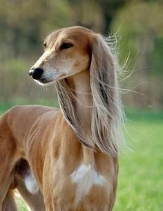 Salukis, the Cher of sighthounds. Lol.