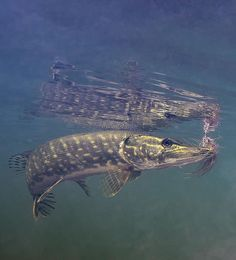 Matt Hayes' Guide to Fly Fishing for Pike Part 1 : Guideline