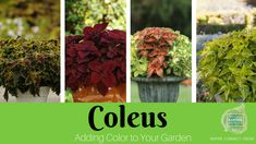 Grown for its foliage Coleus is one of the easiest and most diverse foliage to add color to your garden, containers and patio pots. Shade Plants, Cool Plants, Easy Garden, Summer Garden, Coleus Care, Container Gardening, Gardening Tips, Sustainable Gardening, Leaf Coloring