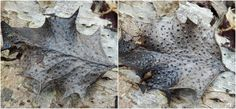 Curiosity thrills. posted a photo:  A discomycete fungus that grows on old Holly leaves. Similar in appearance to Holly Speckle. The easiest way to ID them is that Holly Speckle only shows on the topside of the leaf whereas P.h. shows on both sides as seen here. Deserves to be seen under a microscope. There is scant information re this particular fungus on the net.  NX392694
