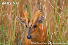 Male southern red muntjac. These unassuming little guys are actually omnivorous, eating fruit, grasses, eggs and small animals.