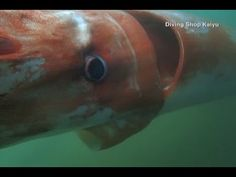 Japan - Giant deep sea squid swims in bay - Akinobu Kimura, speaking to CNN.  Kimura swam close and filmed the estimated 3.7 metre (12.1 foot) squid.