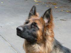 Evie 1 year old German Shepherd