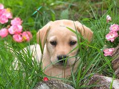 Cute lab among flowers - Desktop Nexus Wallpapers Funny Dog Photos, Dog Pictures, Funny Dogs, Free Animated Wallpaper, Dog Wallpaper, Cute Puppies, Dogs And Puppies, Doggies, Free Dogs
