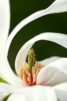 Curled star ~ Star Magnolia by mooksool