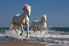 wild horses on Vieques Island, Puerto Rico