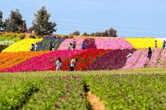 The Carlsbad flower fields near San Diego, California are 50 acres of gorgeous color in the spring. Use this guide to see them for yourself.