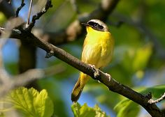 Common Yellowthroat (male) multiple images