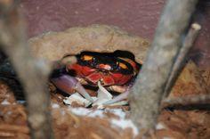 Halloween Crab, Animals, Animales, Animaux, Animal, Animais