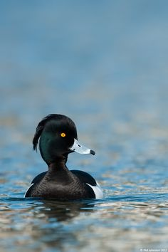 Tufted Duck by Phil Johnston.  The adult male is all black except for white flanks and a blue-grey bill. It has an obvious head tuft that gives the species its name. The adult female is brown with paler flanks.