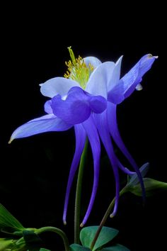 Blue Columbine [Aquilegia] - by David Millard