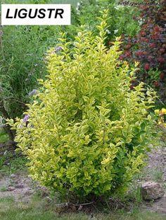 Ligustr okrągłolistny AUREUM (Ligustrum owalifolium Aureum)