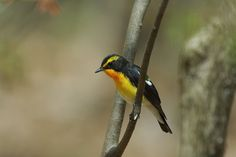 Narcissus flycatcher by Mubi.A