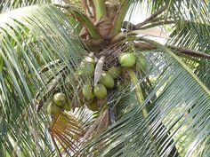 10 Uses Of Coconut Trees  #coconuts #trees #uses